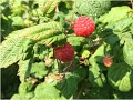 Biointensive Perennial Urban Orchard Garden Update Zone 3 Alberta Urban Garden