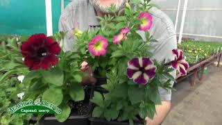 видео Мелкоцветковые (спрей)