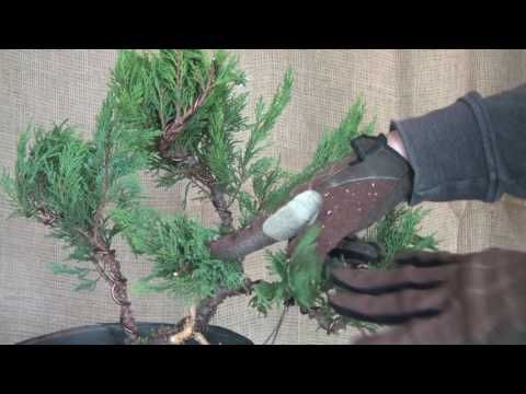 Creating A Juniper Bonsai From Yamadori Material Doovi