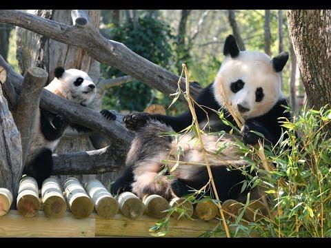 PANDAS zoo aquarium Madrid