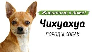 Чихуахуа - породы собак.