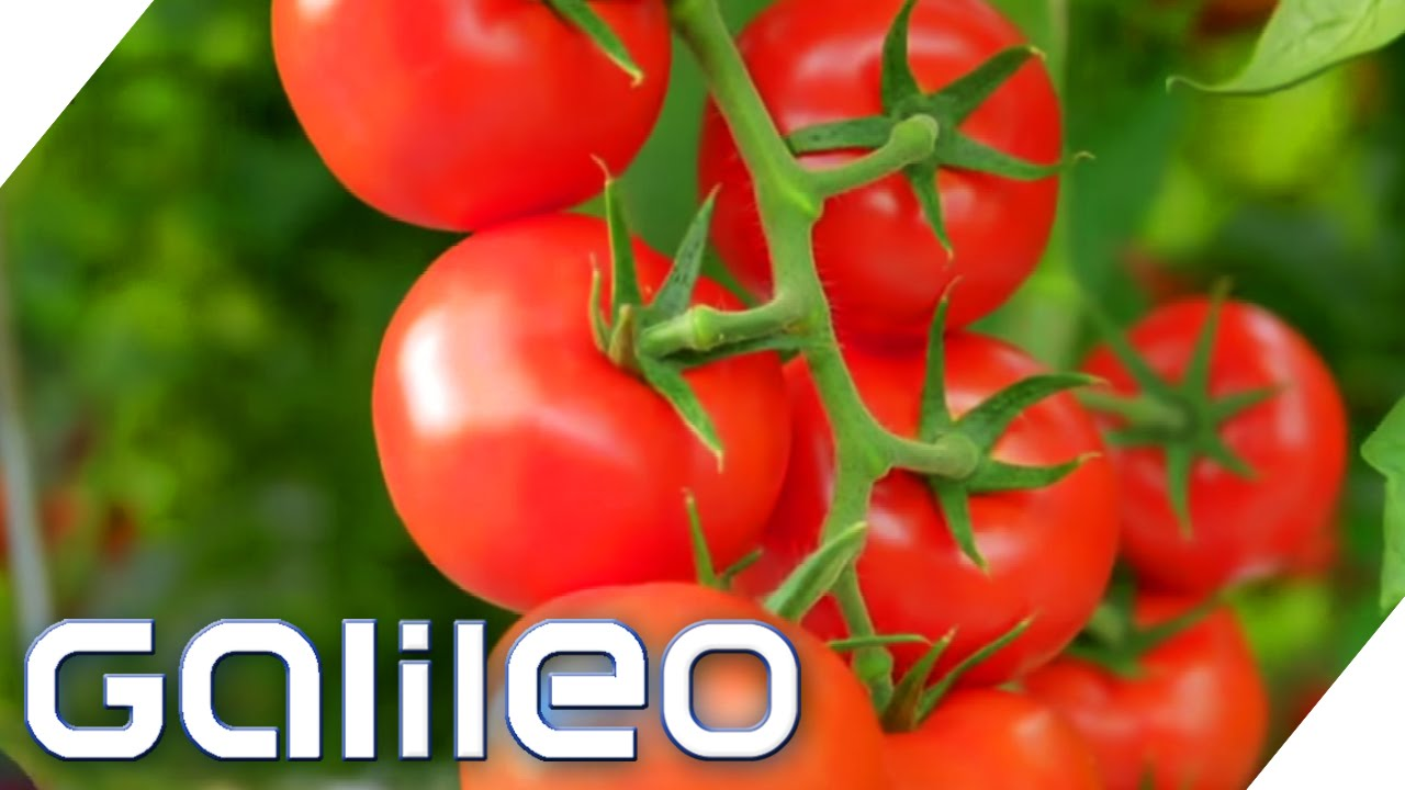 Die Beste Tomate Galileo Prosieben Youtube