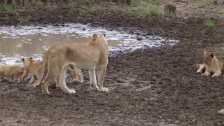 8272 Limping Lioness wiith 6 cubs seregeti lat pool of water  African Safairi   Oct 23rd  2017 r