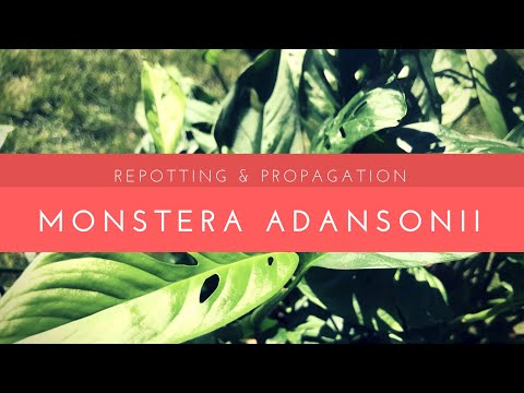 Repotting & Propagating My Monstera Adansonii