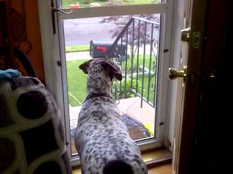 German Short-haired pointer funny moments