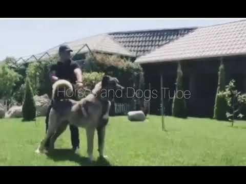 Turkish Kangal Vs Alabai  || Kangal Vs Central Asian Shepherd || Power Of Turkish Kangal