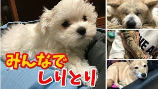 マルチーズ(ちゅーぶ)・秋田犬(ぼん)・柴ちゃん(スー)・で、パパ...