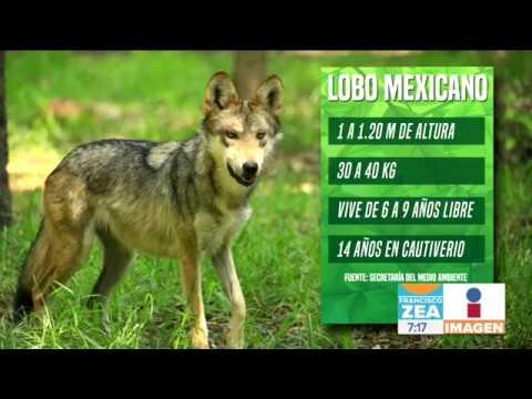 Lobo Mexicano Está En Peligro De Extinción Solo Quedan 300 Noticias Con Francisco Zea Youtube