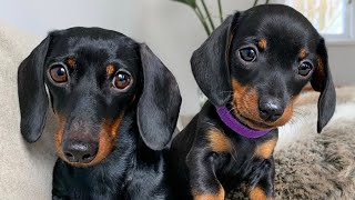 Loulou & Coco, the dachshund puppy that stays with us.