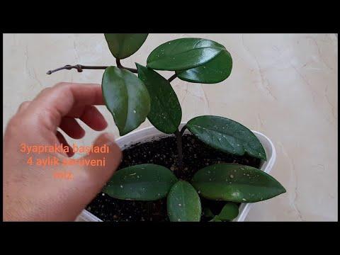 MUM ÇİÇEĞİ BAKIM,Mum çiçeği nasıl çoğaltılır. SONUÇ HARİKA.Hoya çiçeği bakımı.