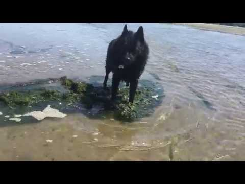 Schipperke dog shows seaweed who's the boss!