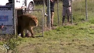 Circus Lions Finally Get The Freedom They've Been Waiting For