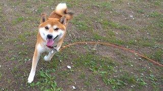 柴犬タロウと家族の日記。 信州はすっかり秋模様。 Shiba Inu wants to go for a walk. #柴犬 #Shibainu.