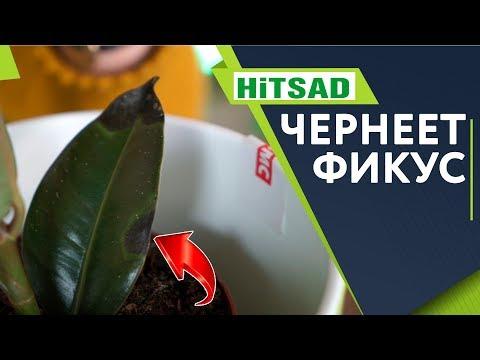 Чернеют листья Фикуса ✔️ Чем болеет Фикус