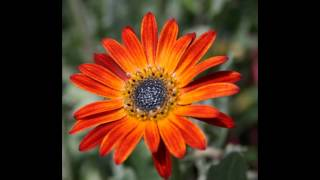 видео Арктотис - выращивание из семян и особенности цветка