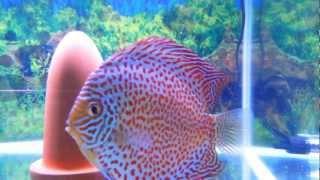 sunny discus in hong kong china discus aquarium fish farm 七彩神仙魚 (旭日水族)