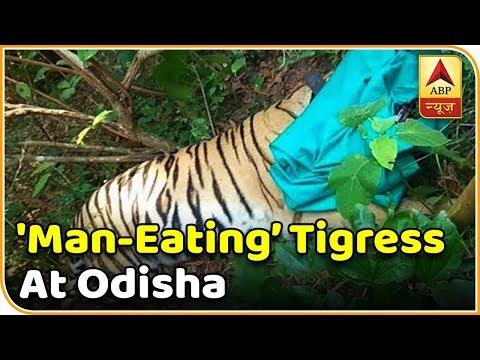 'Man-Eating' Tigress Tranquilized At Odisha Reserve | Namaste Bharat | ABP News