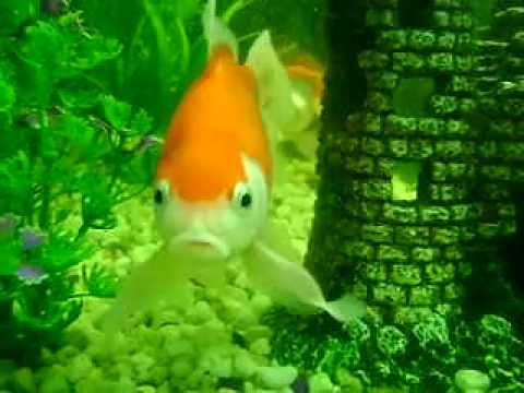 Goldfische im aquarium youtube for Goldfische im aquarium