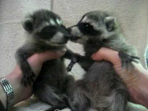 free hq baby raccoon - photo #32
