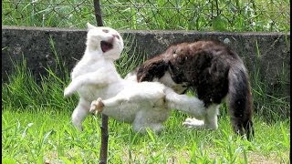 Редкий сумашедший бой котов!
