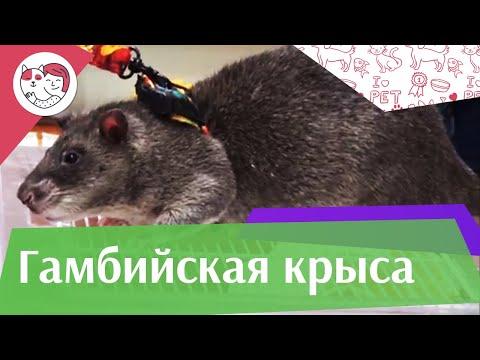 Гамбийская крыса. Особенности, уход на ilikepet
