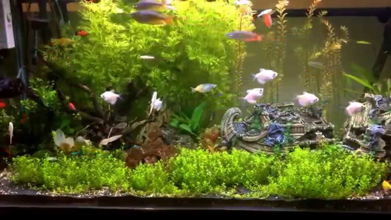 70 gallon freshwater planted community aquarium day 95 for Community fish tank