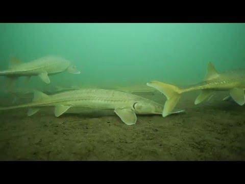 Shovelnose Sturgeon Dive Below Fort Peck Dam