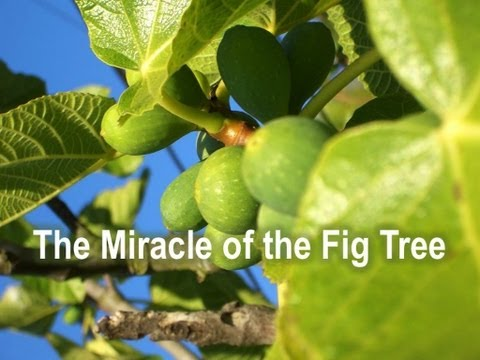 The Miracle of the Fig Tree