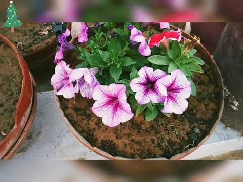 Best Pot For Petunia Flowers Maximum Flowers And Helthy Plants