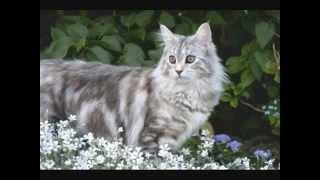 Какие они разные кошки породы мейн кун