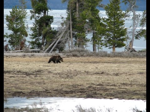 YELLOWSTONE WILDLIFE--BEARS TO WOLVES