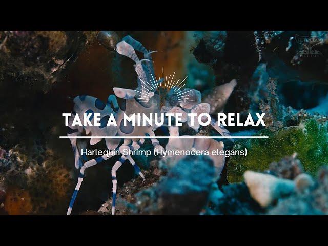 Take a Minute XXIII : Harlequin Shrimp (Hymenocera elegans)