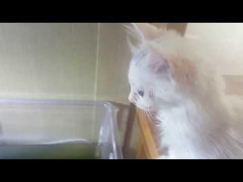 Turkish Angora Cat Breed Video Funnycat Tv