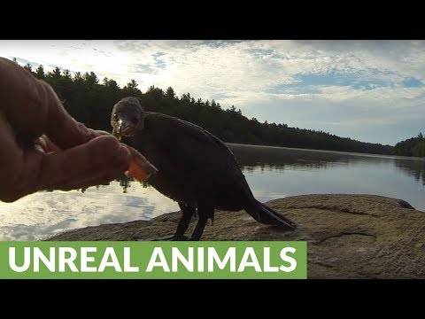 Orphaned Baby Cormorant Begs Fisherman For His Catch