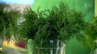 Укроп. Пряные травы на нашем столе.  Жить здорово! (01.07.2013)