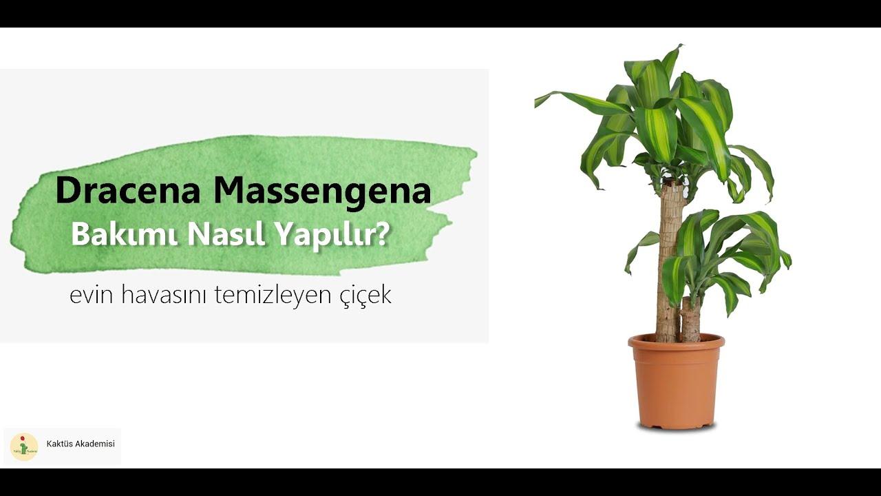 [YUKA ÇİÇEĞİ] BAKIMI NASIL YAPILIR? | Dracena Massengena