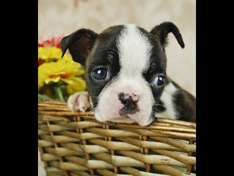 Boston Terrier Temperament Learn About The Temperament Of Your