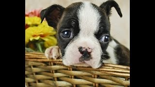 Boston Terrier Temperament: Learn About The Temperament Of Your Boston Terrier