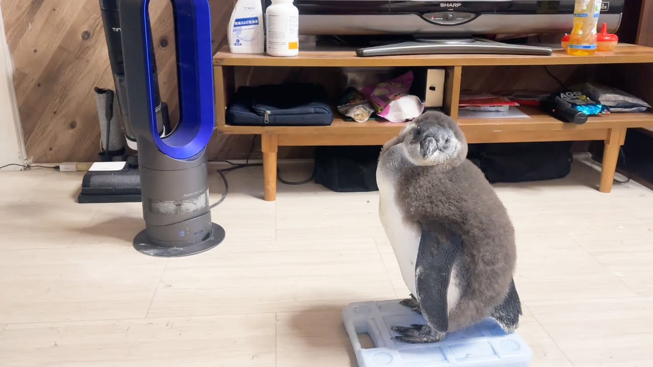 やる気のないペンギンの赤ちゃん