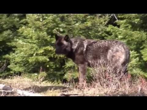 OR-4 Oregon Wolf - Central Oregon Daily Report - Part 1