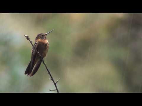 Birds of Peru: Shining sunbeam (Aglaeactis Castelnaudii)