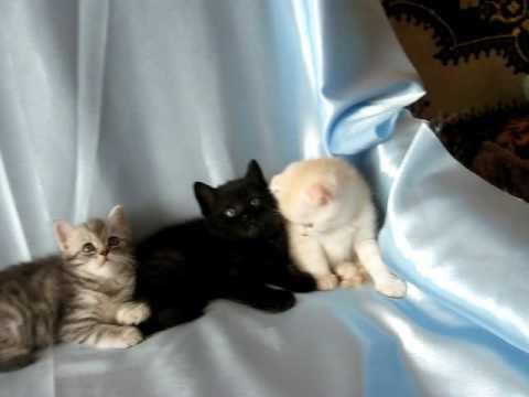 Питомник британских и шотландских вислоухих кошек