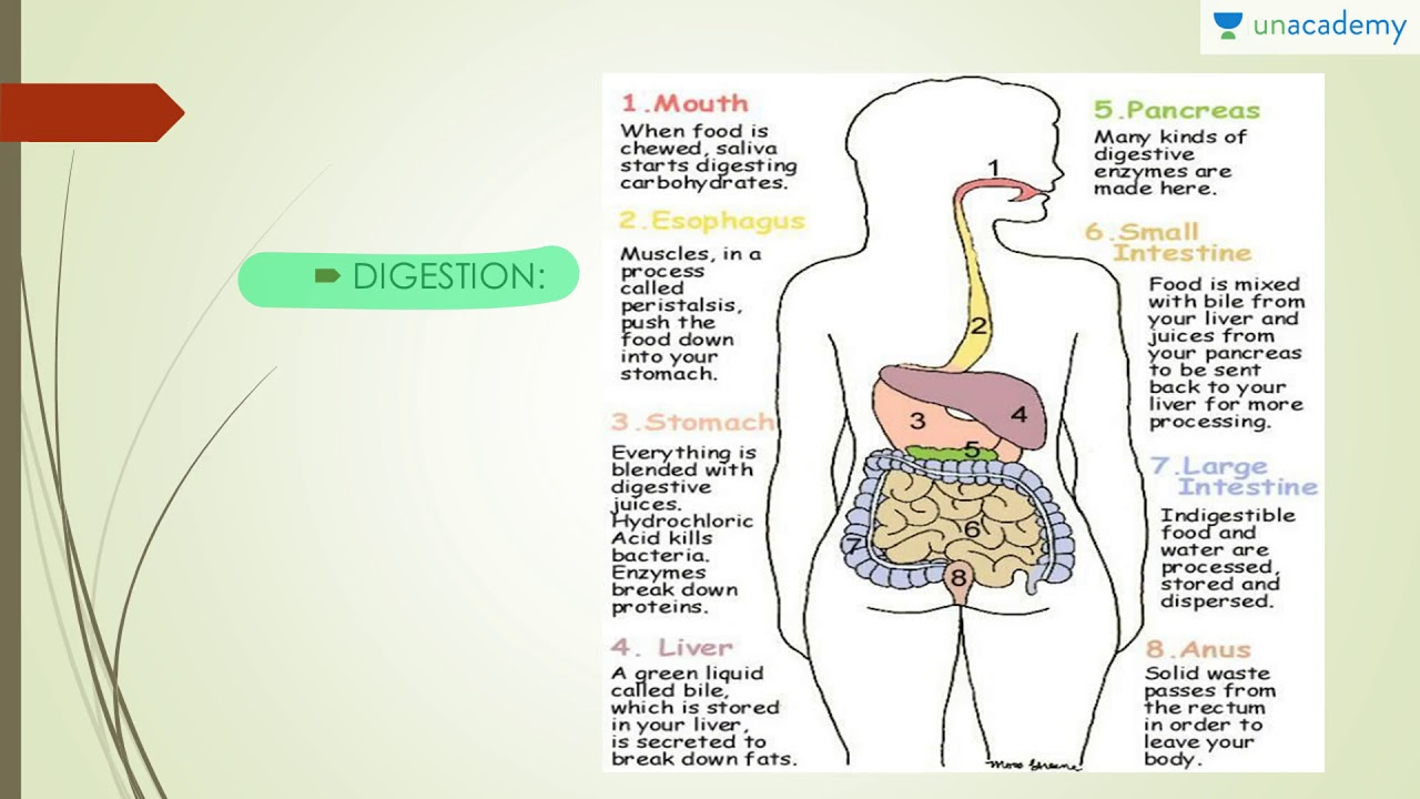 Human Anatomy - Physiology of Digestive System - YouTube
