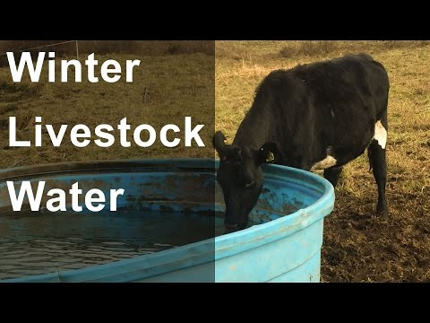 Winter Livestock Water: Cows & Sheep