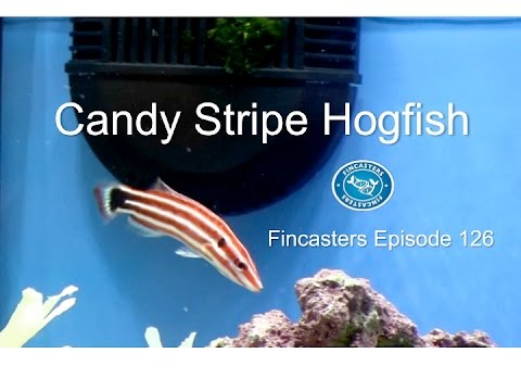 The Candy Stripe Hogfish Fincasters Episode 126