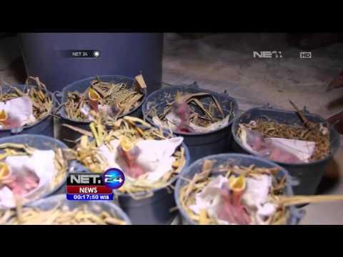 Bisnis Burung Jalak dan Hasilkan Jutaan Rupiah - NET24