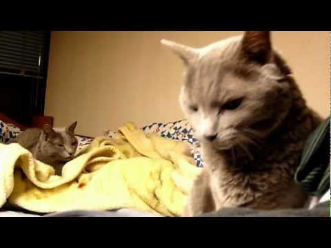 Russian Blue Cats in bed
