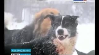 Стая собак дней держит в страхе весь Северодвинск