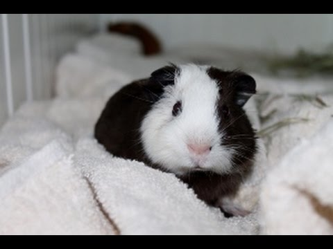 GETTING MY GUINEA PIGS!