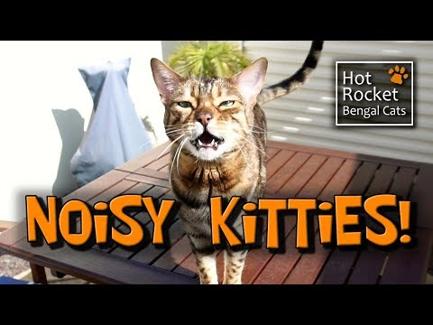 Meowing, chirping, yowling! NOISY Bengal cats talking!